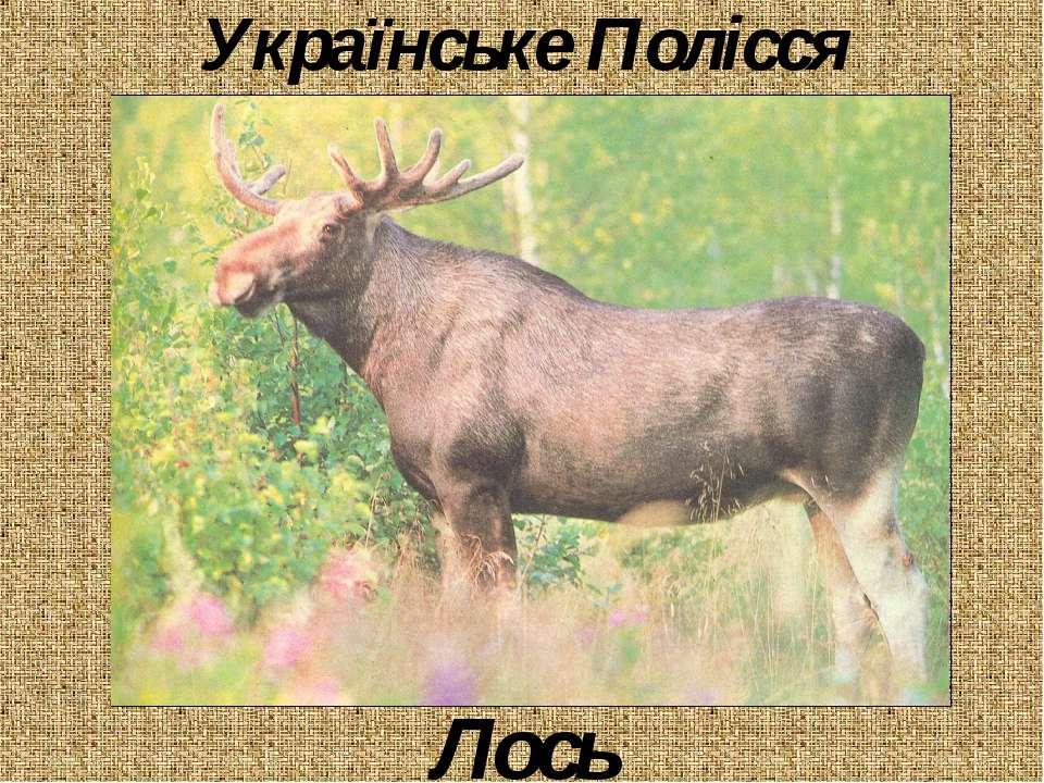 Українське Полісся Лось