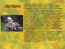 ЛЕЛЕКА Лелека – священний птах, покровитель сім'ї рідногодому. Лелека (бусол,...