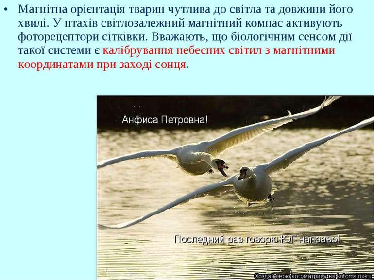 Магнітна орієнтація тварин чутлива до світла та довжини його хвилі. У птахів ...