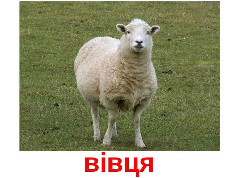вівця