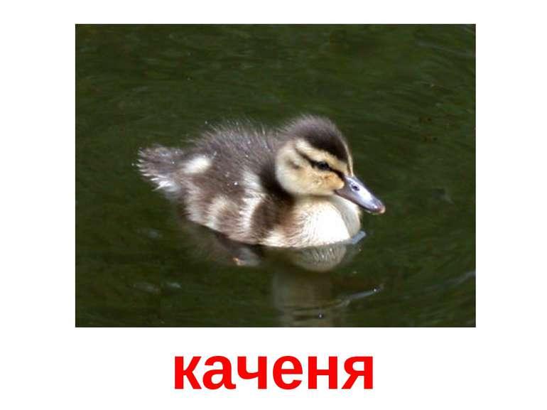 каченя