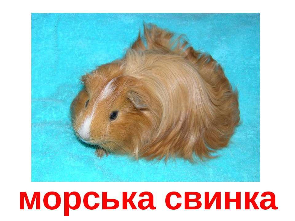 морська свинка