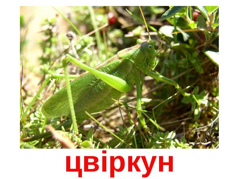 цвіркун