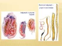 Бентосні інфузорії – у мулі та на пляжах Інфузорії зі шлунка корови