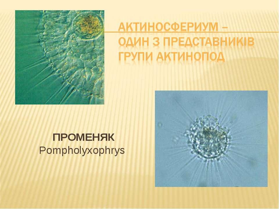 ПРОМЕНЯК Pompholyxophrys