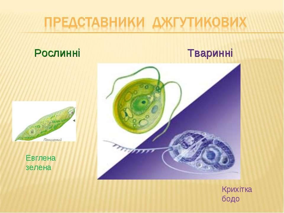Рослинні Тваринні Евглена зелена Крихітка бодо