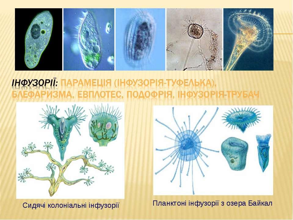 Планктоні інфузорії з озера Байкал Сидячі колоніальні інфузорії