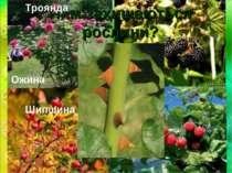 Чим захищаються рослини? Троянда Ожина Шипшина Малина