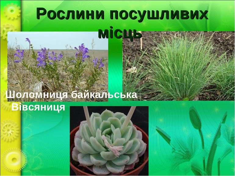 Рослини посушливих місць Шоломниця байкальська Вівсяниця Ехеверія