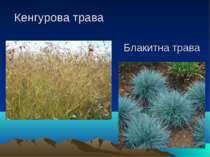 Кенгурова трава Блакитна трава