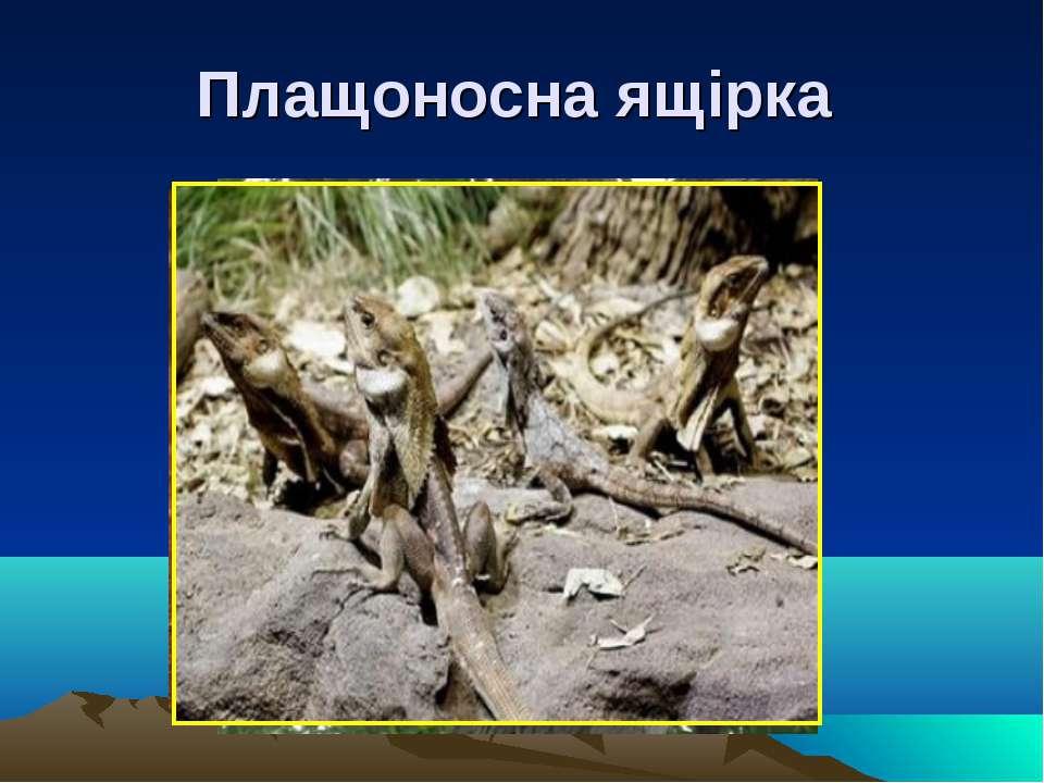 Плащоносна ящірка