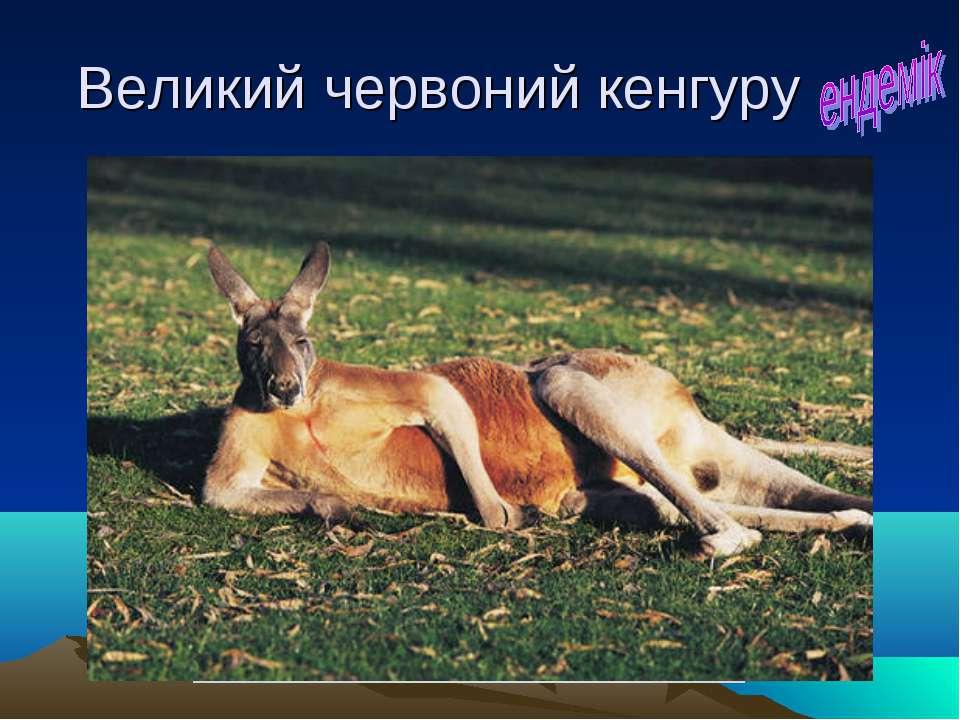 Великий червоний кенгуру