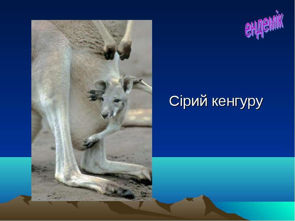 Сірий кенгуру