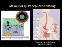 Механізм дії холерного токсину Розвиток vibrio cholerae в організмі людини