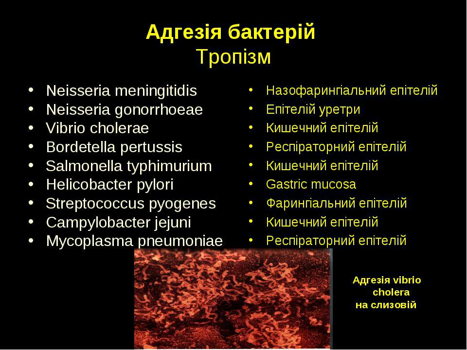 Адгезія бактерій Тропізм Neisseria meningitidis Neisseria gonorrhoeae Vibrio ...