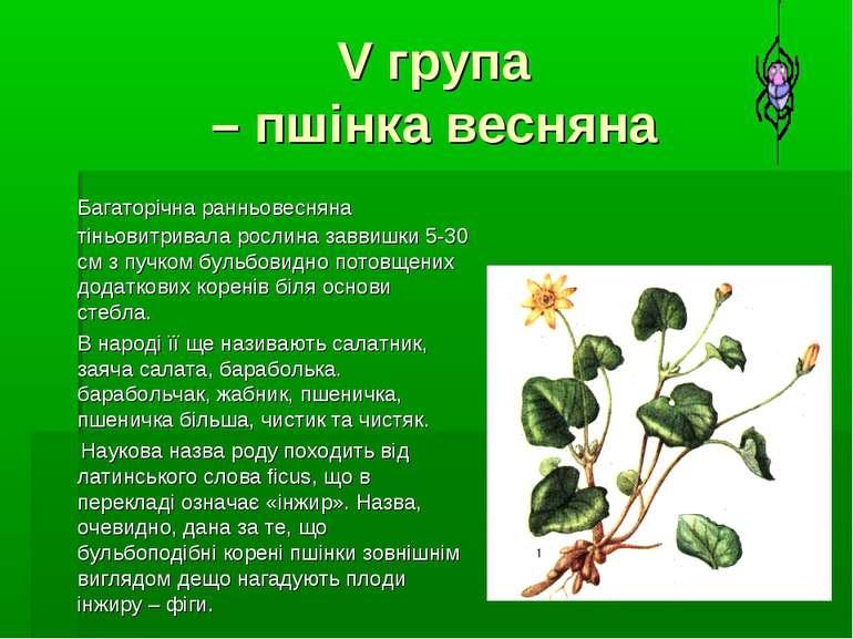 V група – пшінка весняна Багаторічна ранньовесняна тіньовитривала рослина зав...