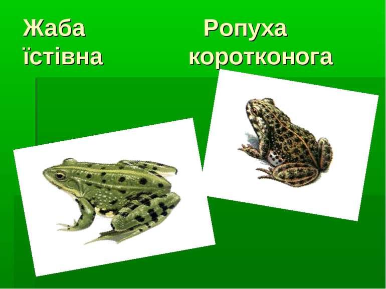 Жаба Ропуха їстівна коротконога