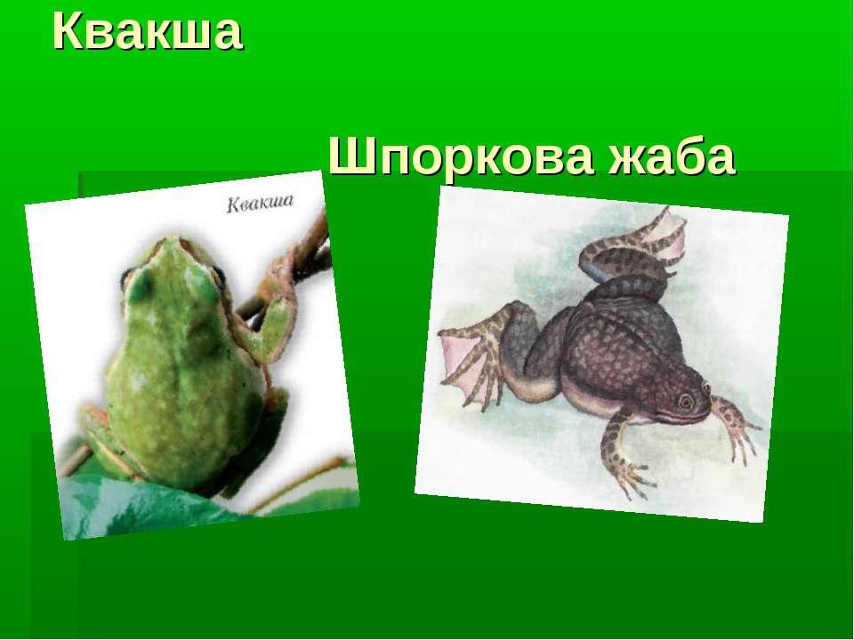 Квакша Шпоркова жаба