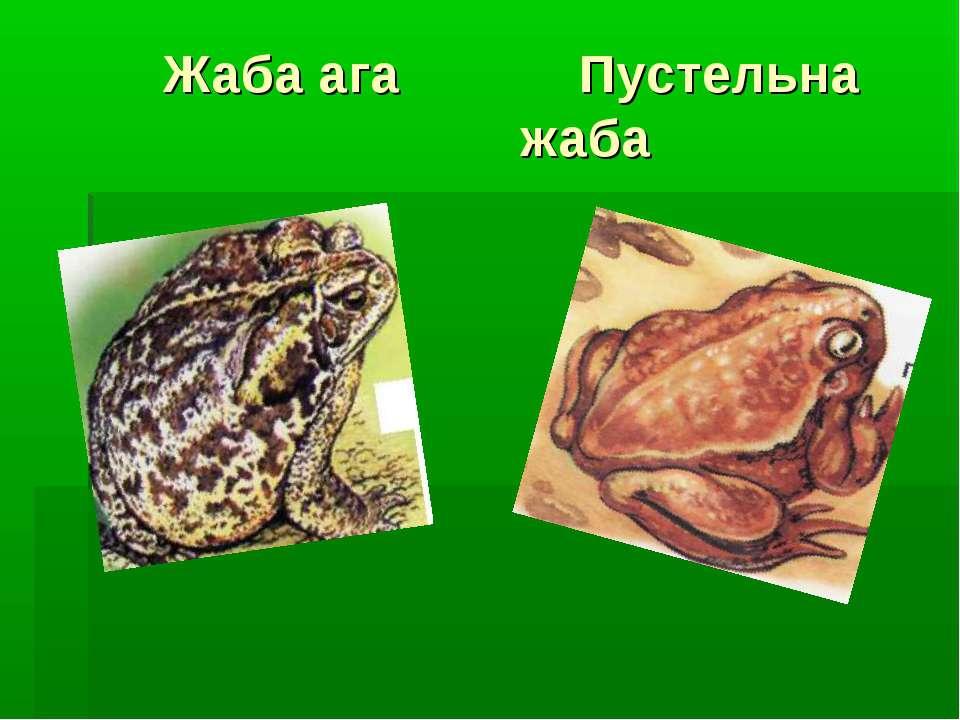 Жаба ага Пустельна жаба