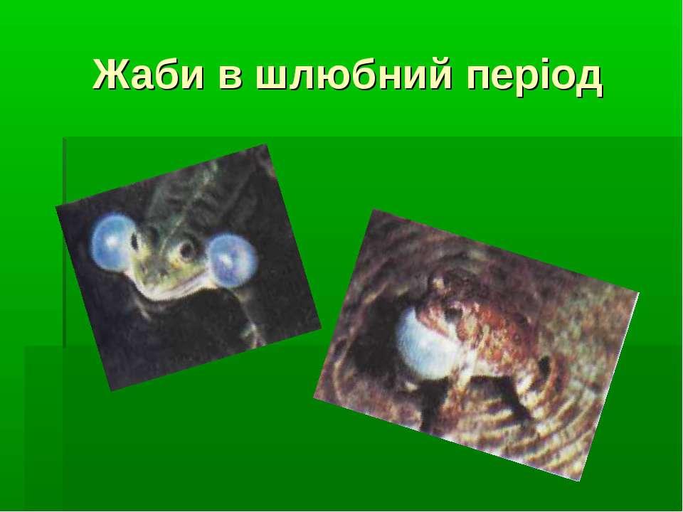 Жаби в шлюбний період