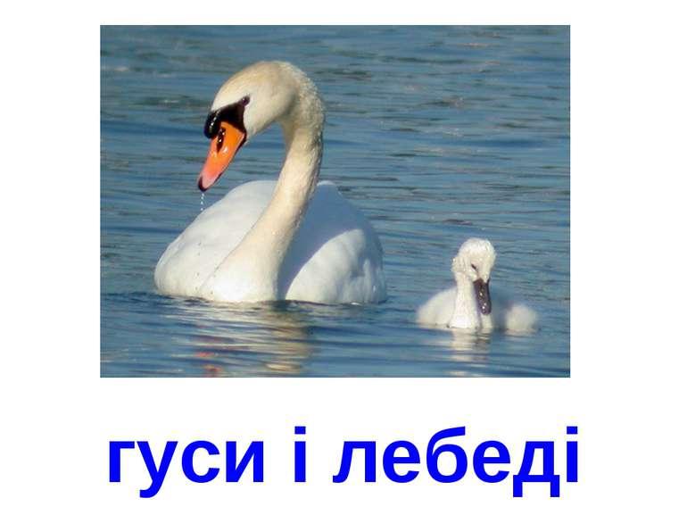 гуси і лебеді