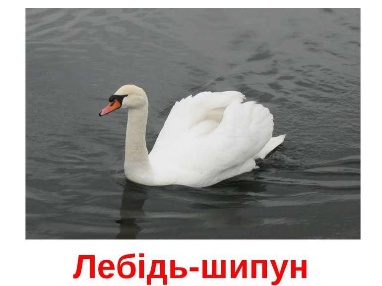 Лебідь-шипун