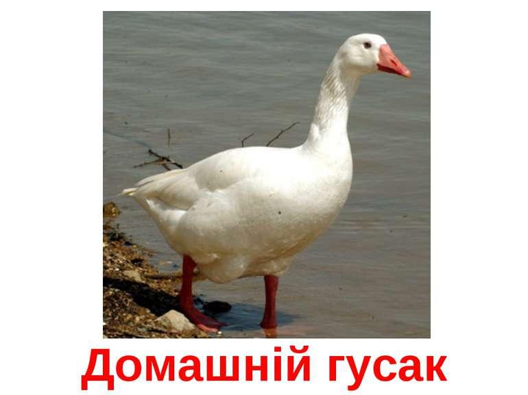Домашній гусак