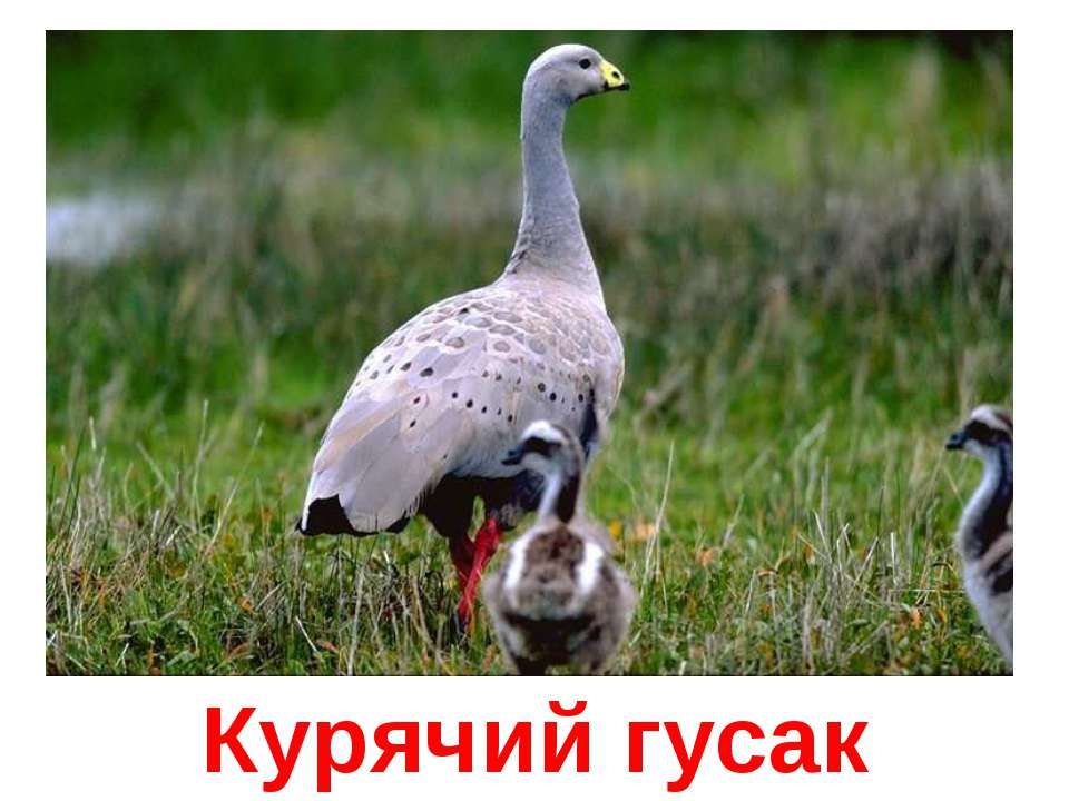 Курячий гусак