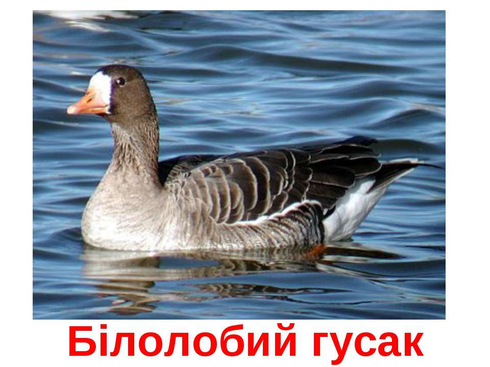 Білолобий гусак