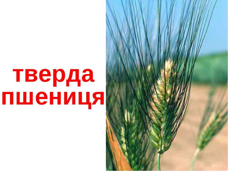 тверда пшениця
