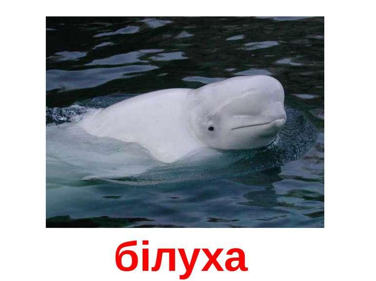 білуха