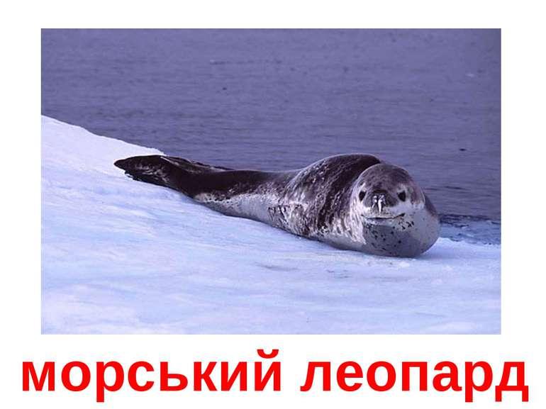 морський леопард
