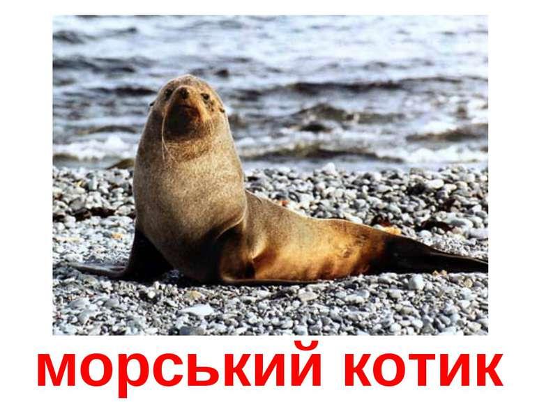 морський котик