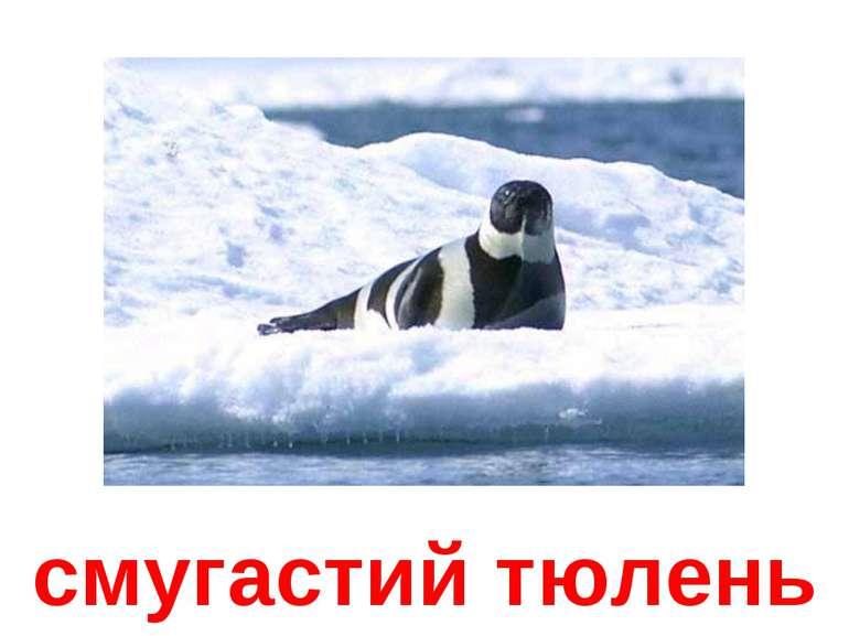 смугастий тюлень