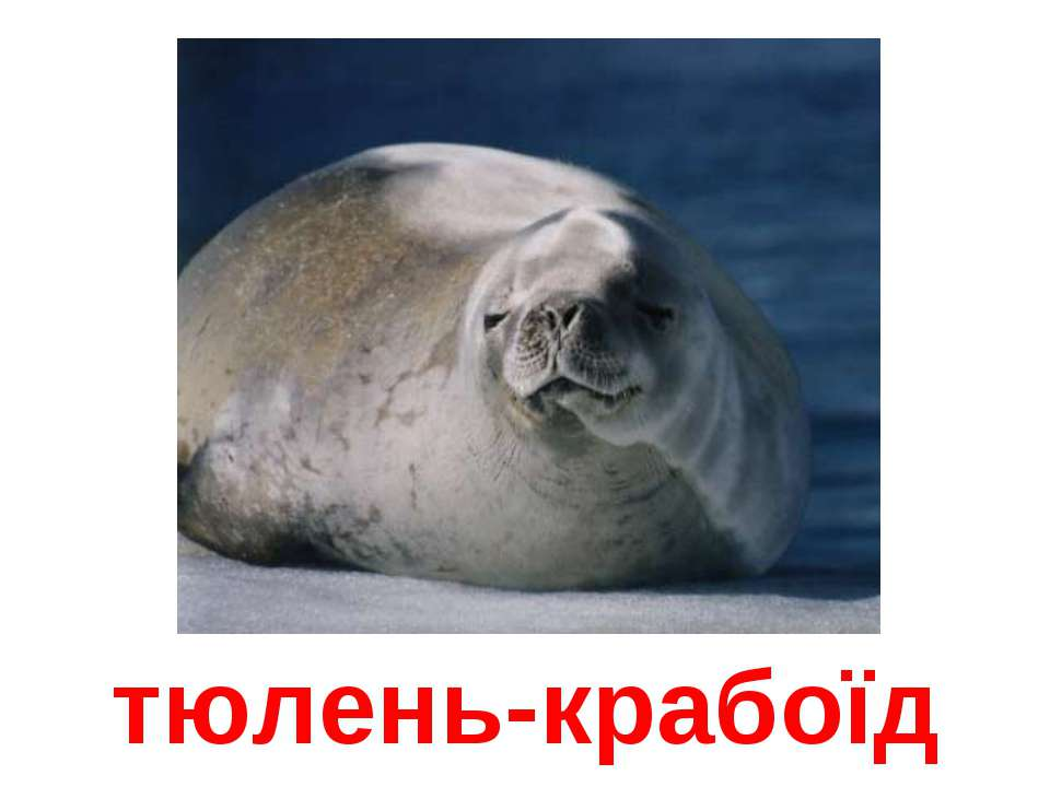 тюлень-крабоїд