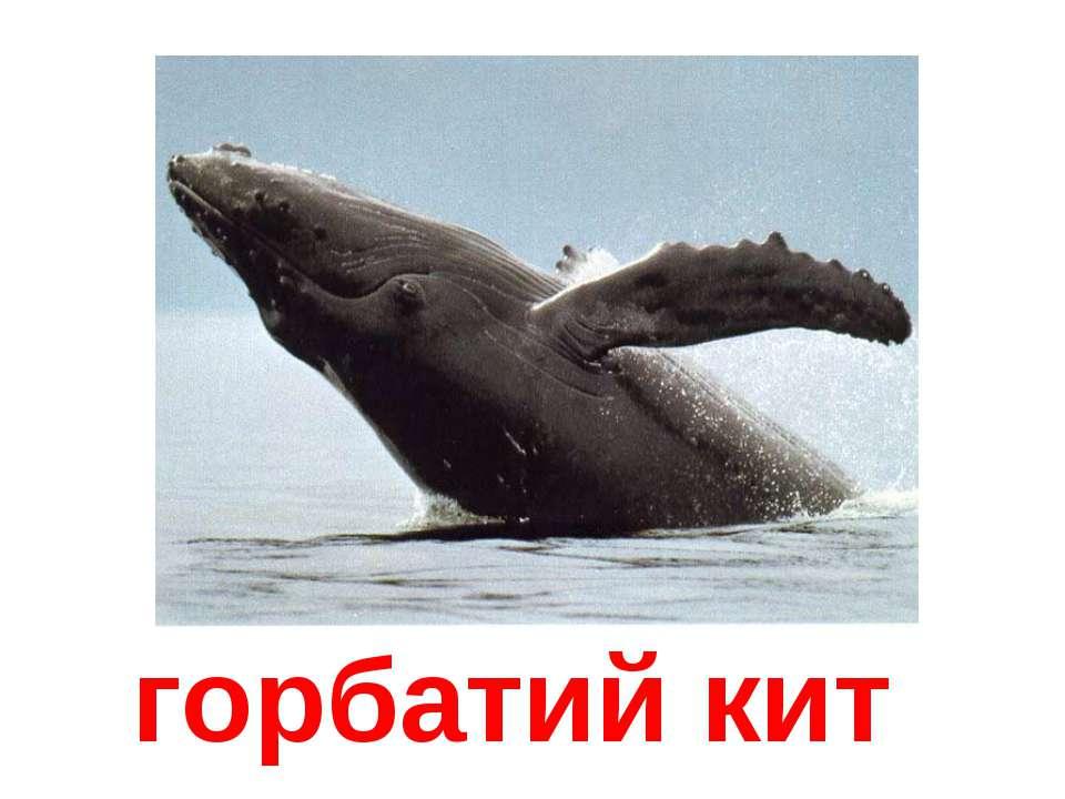 горбатий кит