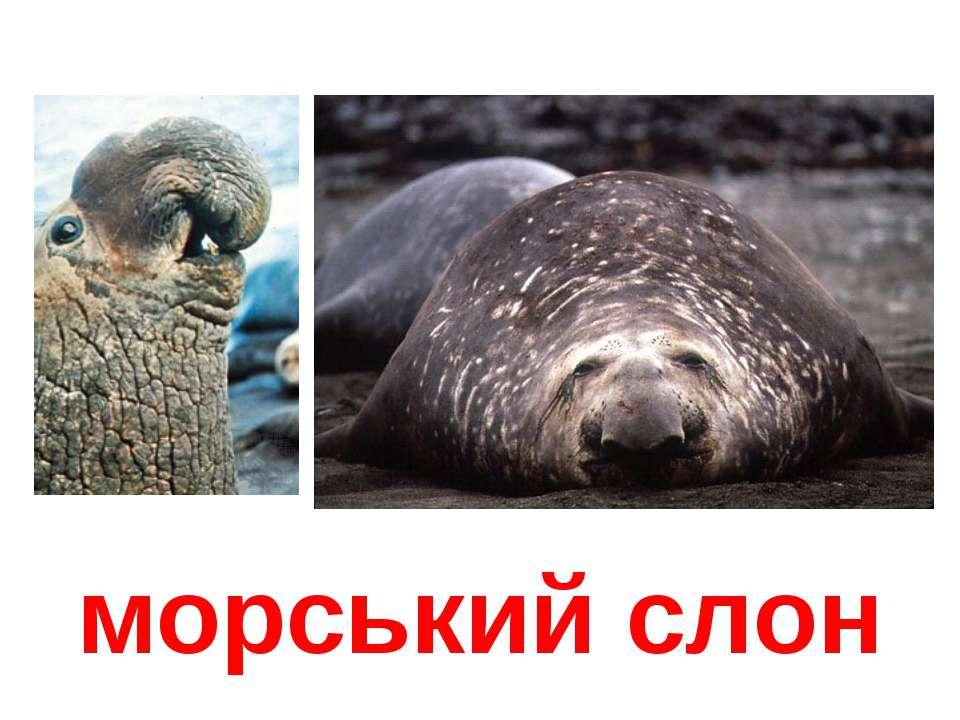 морський слон