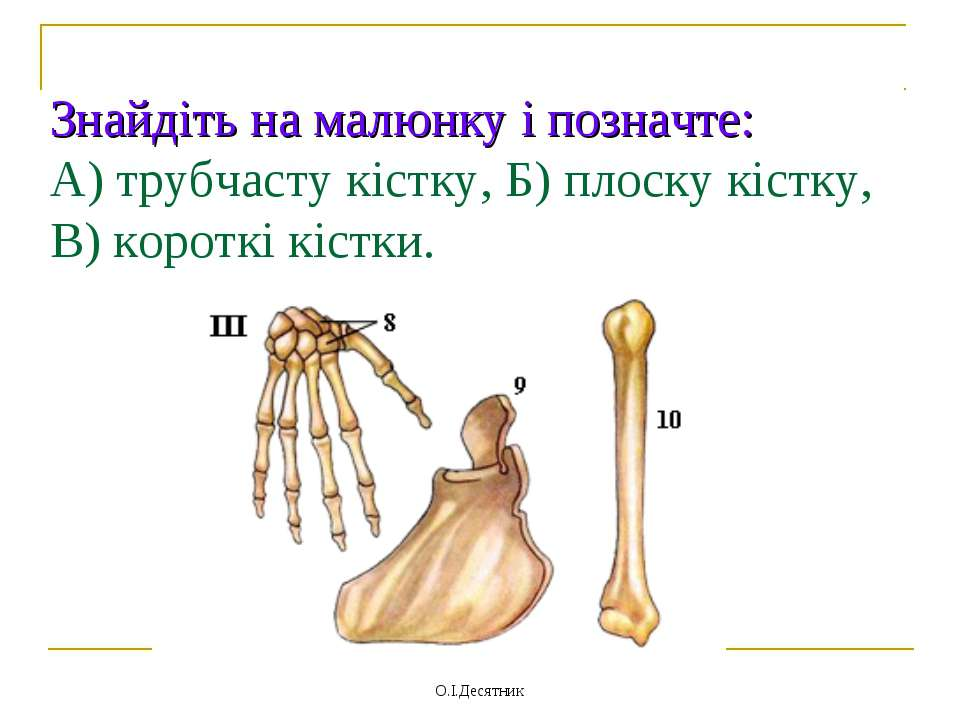 Знайдіть на малюнку і позначте: А) трубчасту кістку, Б) плоску кістку, В) кор...