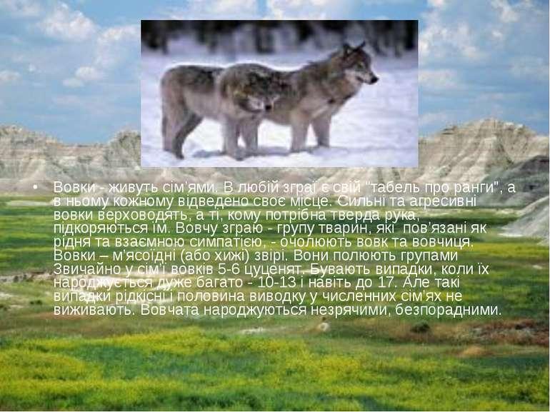 """Вовки - живуть сім'ями. В любій зграї є свій """"табель про ранги"""", а в ньому ко..."""