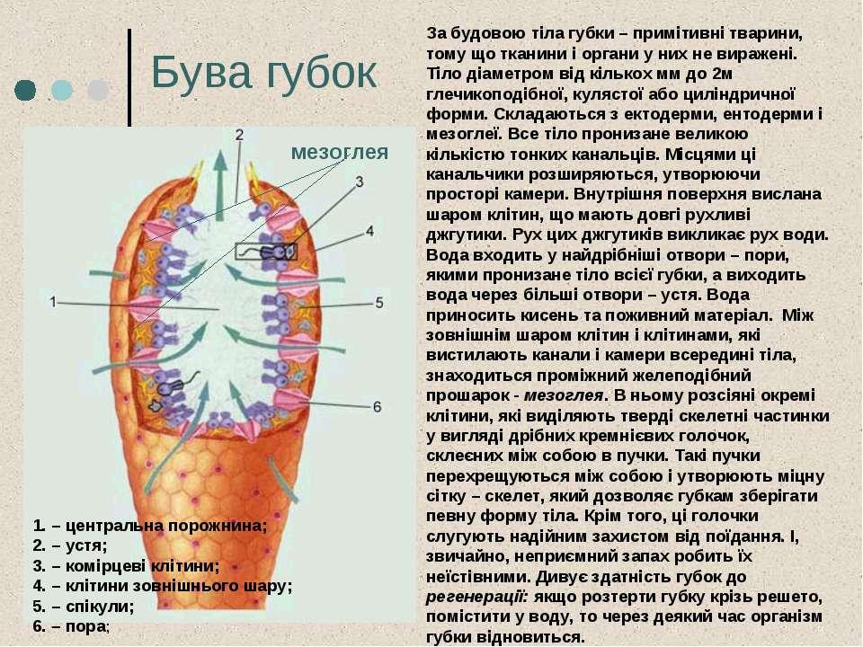 Бува губок 1. – центральна порожнина; 2. – устя; 3. – комірцеві клітини; 4. –...