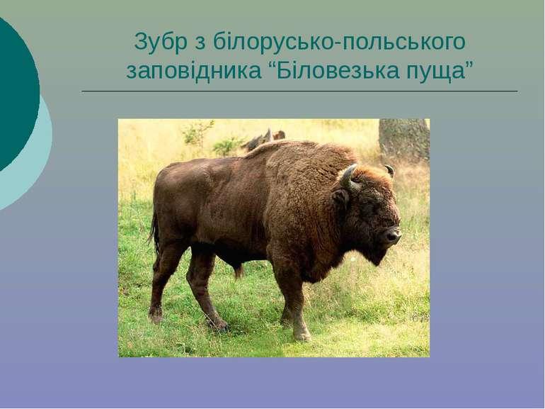 """Зубр з білорусько-польського заповідника """"Біловезька пуща"""""""