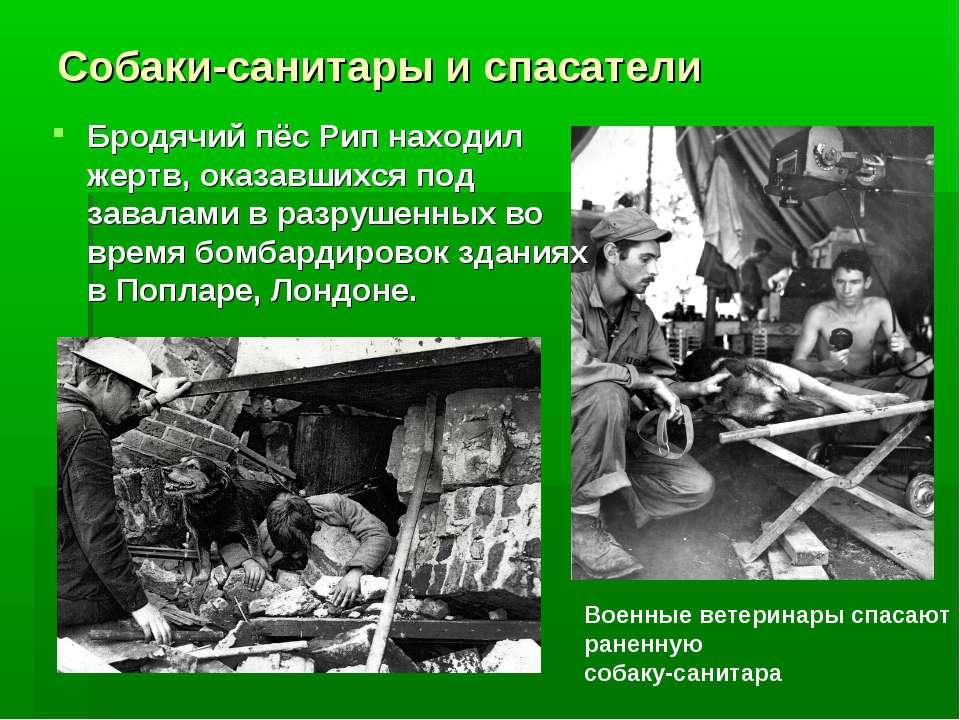 Собаки-санитары и спасатели Бродячий пёс Рип находил жертв, оказавшихся под з...