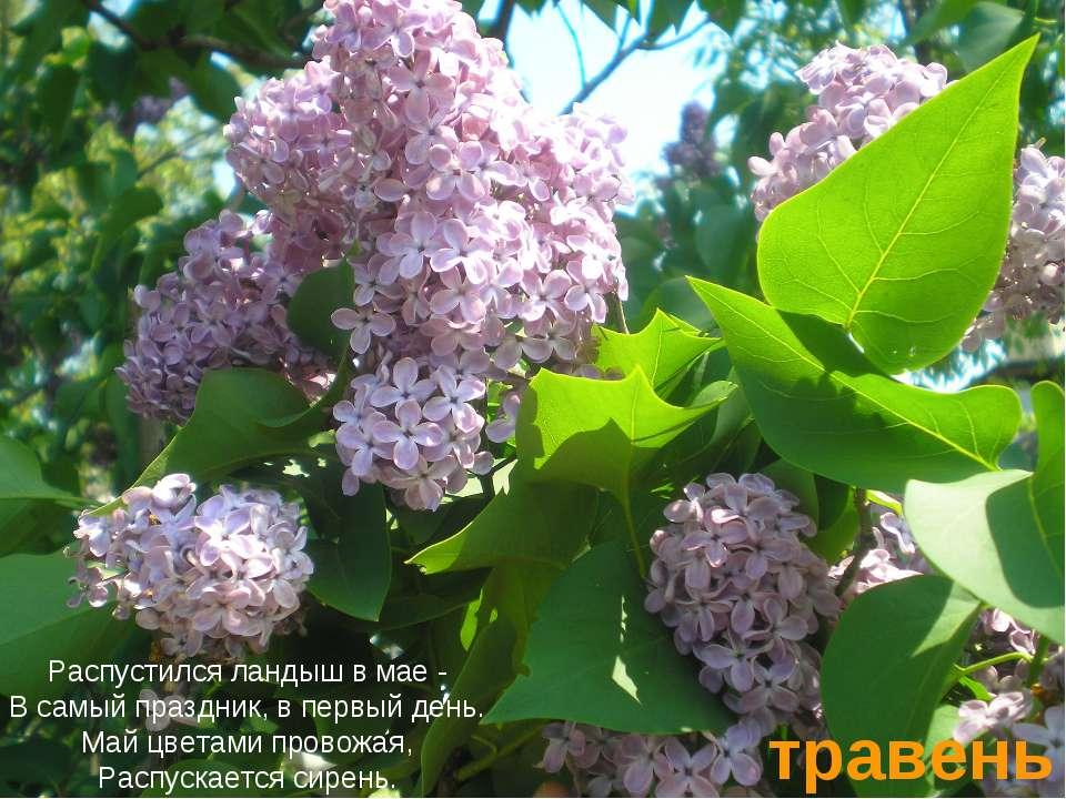 травень Распустился ландыш в мае - В самый праздник, в первый день. Май цвета...