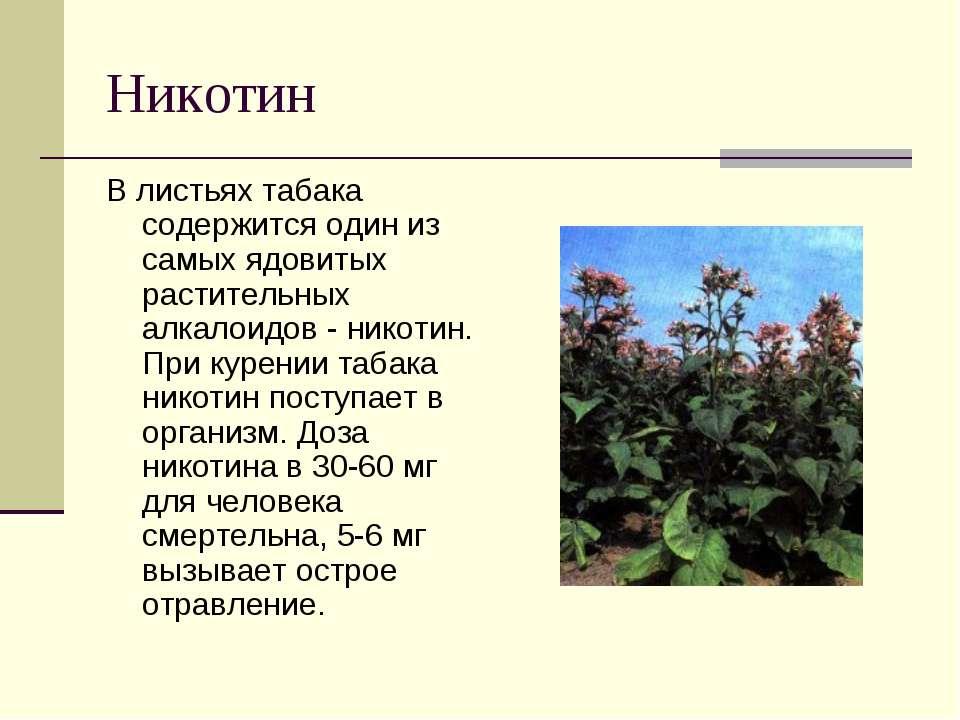 Никотин В листьях табака содержится один из самых ядовитых растительных алкал...