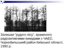 """Залишки """"рудого лісу"""", враженого радіоактивними викидами з ЧАЕС. Чорнобильськ..."""
