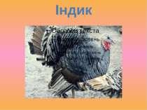 Індик