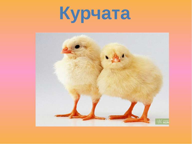 Курчата