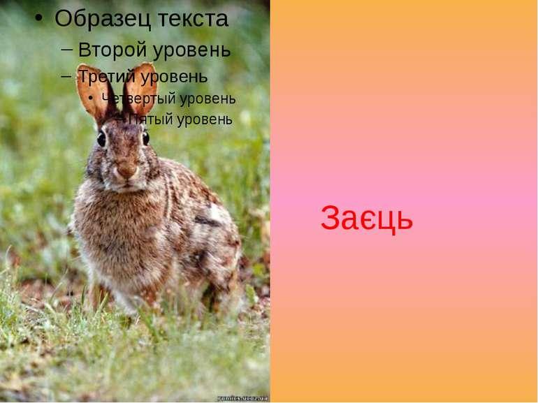 Заєць