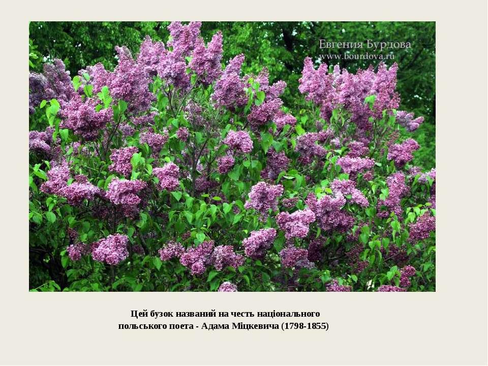 Цей бузок названий на честь національного польського поета - Адама Міцкевича...