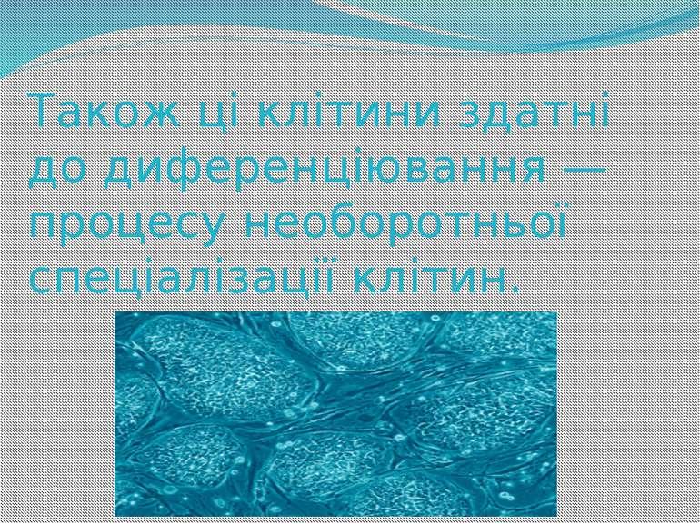 Також ці клітини здатні до диференціювання — процесу необоротньої спеціалізац...